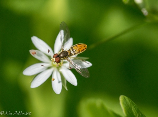 A soldier fly (?) perches on a lesser stitchwort blossom.