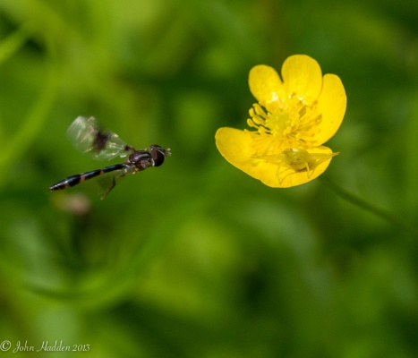 I was shooting the yellow crab spider on the buttercup when the elongated flower fly zipped into the frame. A lucky shot!
