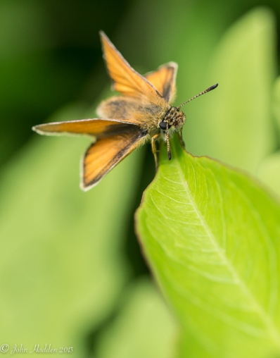 A tawny-edged Skipper on a milkweed leaf.