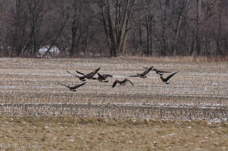 Canada geese take wing in the corn fields in Richmond, Vt