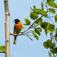 A northern oriole perches in a nearby aspen