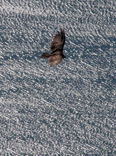 A turkey vulture cruises the sky above Lake Dunmore