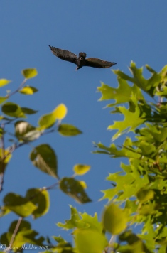 A turkey vulture in the sky above our house