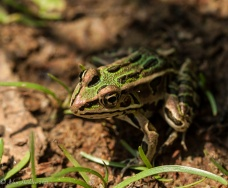 A leopard frog