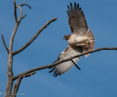 A red tailed hawk takes flight in Charlotte, VT