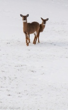 A pair of white tailed deer in the early winter along Taft Road
