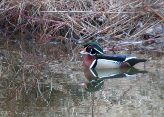 A wood duck in our pond