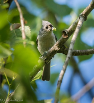A tufted titmouse with a mouthful in the poplar by the pond