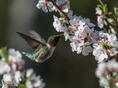 A male ruby-throated hummingbird feeds on the Manchu Cherry by our back deck