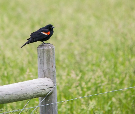 A male red winged blackbird surveys the field along Camel's Hump Road