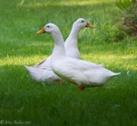 Our two duck, Rupert & Rita, by the pond