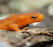 A red eft along the trail up in the woods behind the house