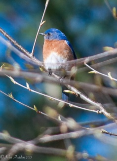A male bluebird in the front yard birch