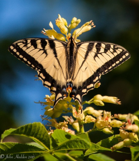 A Canadian swallowtail works the backyard buckeye blossoms