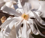 The backyard magnolia in full flower
