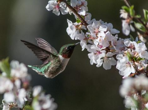 A ruby throated hummingbird feeds on Manchu cherry blossom nectar