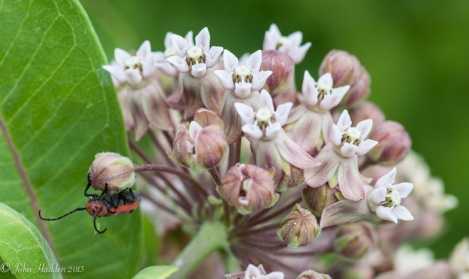 A milk weed beetle on its namesake flower
