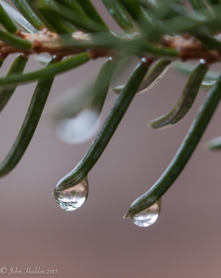 Raindrops cling to spruce needles