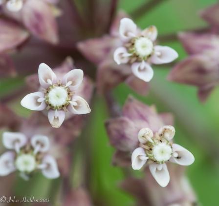 Milkweed flowers up close
