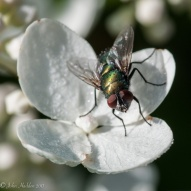 A green bottle fly perched on a hydrangea blossom