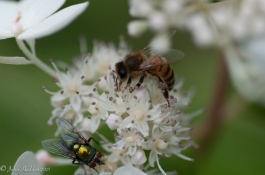 A honey bee and bottle fly work the same flower