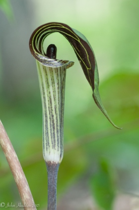A jack-in-the-pulpit along the trail in the back woods