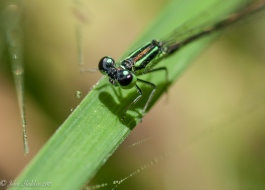 A damselfly by the pond