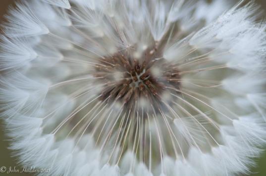 Geometric patterns in a dandelion seedhead