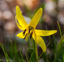A trout lily blooms in the woods behind the house