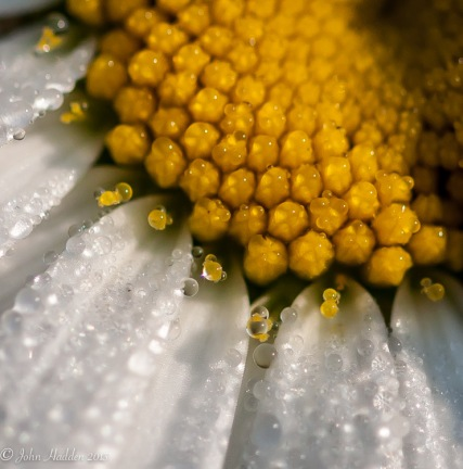 Morning dew beads on an English daisy by the pond