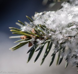 Fine powder snow crystals in our front yard spruce