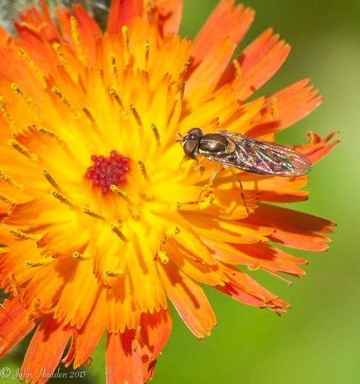 A tiny fly on devil's paintbrush in the front field