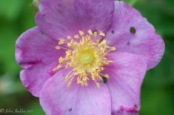 Rugosa rose in bloom by the pond