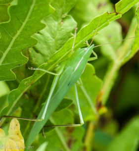 A katydid in the front field