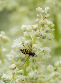 a soldier fly on meadow rue