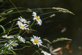Shasta daisies blooming over the pond