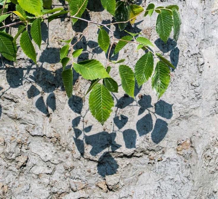 elm-clay