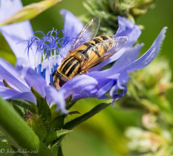 A large bee-like fly works a chicory blossom.