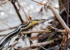 A garter snake prowls the bank of Fargo Brook after a big flood.