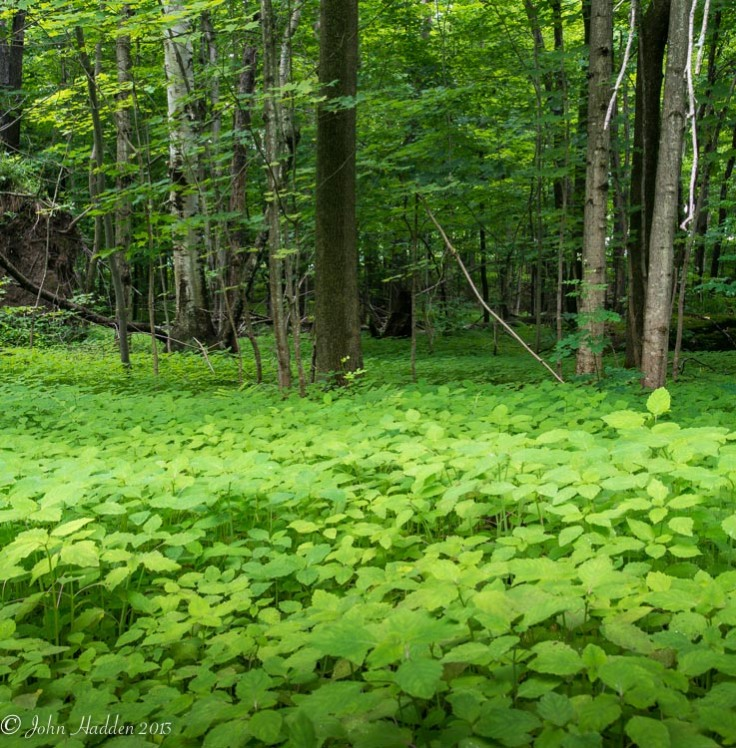 Green jewel weed creates a bright carpet stretching into the woods.