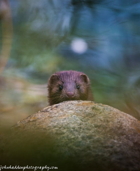 A mink peeks over a rock at our pond