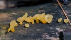 Orange slime molds