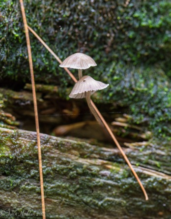 Two tiny mushrooms on a fallen hemlock log