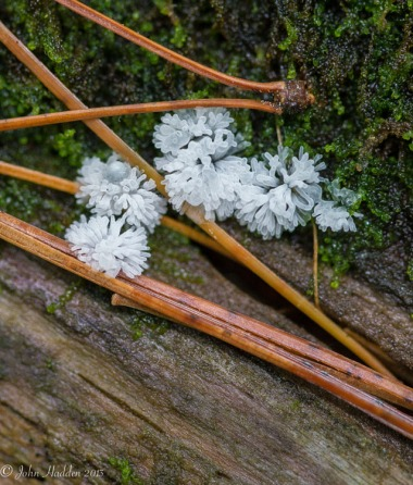 Amazing white sea anemone-like slime mold on a fallen hemlock