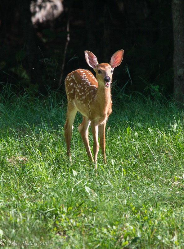 A white tail fawn in mid-munch near Blue Mountain Lake in the Adirondacks
