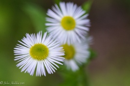 Daisy Fleabane blooming in a clearing in the woods near Fargo Brook.