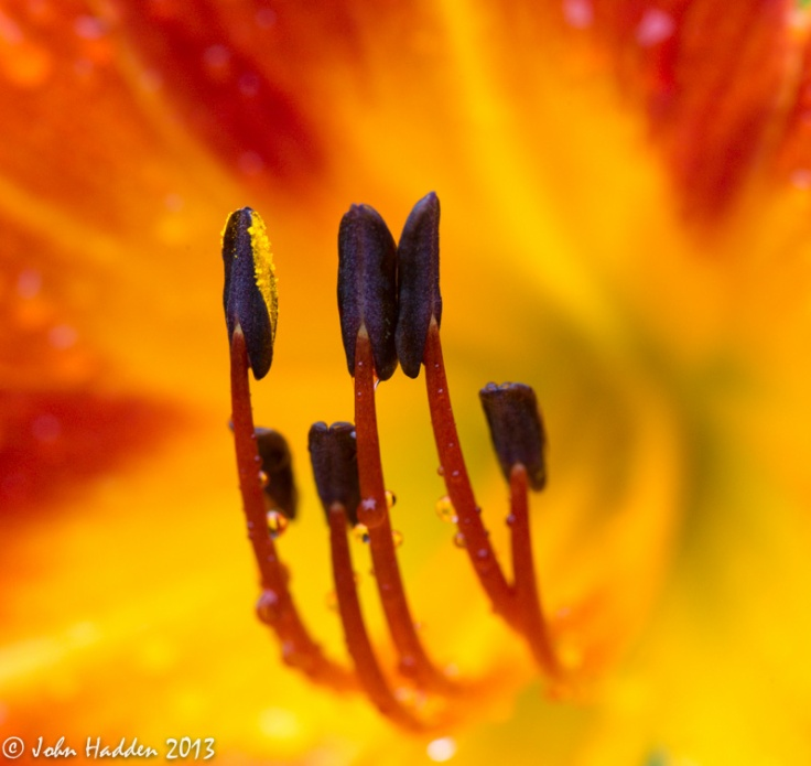 Daylily stamens after a morning rain