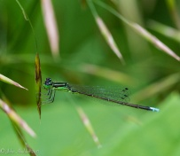 A male rainbow bluet