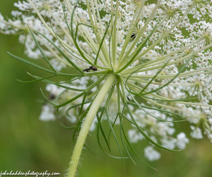 An ant navigates the underside of Queen Anne's Lace
