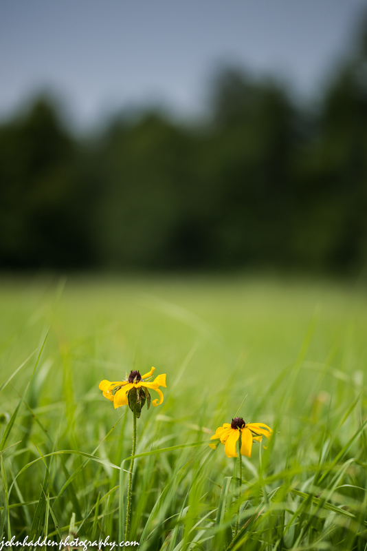 A pair of black-eyed Susans alone in a field.